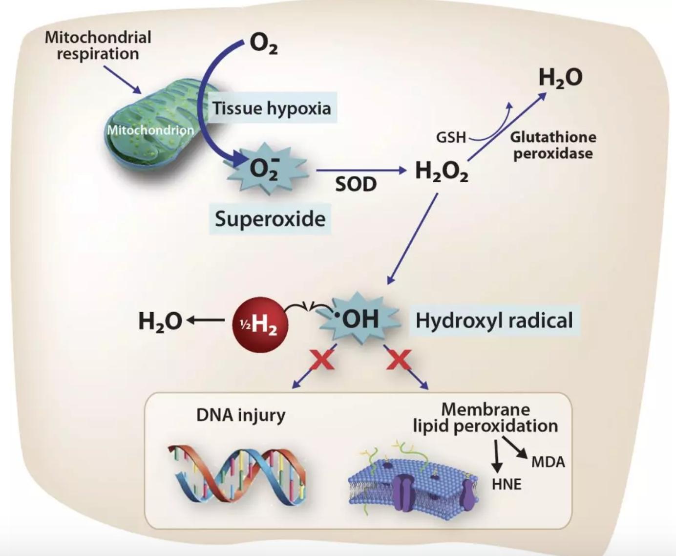 哈佛大學研究:氫氣對缺血再灌的效果